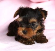 Yorkshire Terrier – Energetic and Affectionate Cute Baby Puppies, Tiny Puppies, Cute Baby Animals, Cute Dogs, Yorkshire Terrier Toy, Miniature Yorkshire Terrier, Yorshire Terrier, Yorkie Puppy, Rottweiler Puppies
