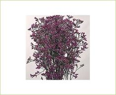 Emile Purple - Hybrid Limonium - Limonium - Flowers by category | Sierra Flower Finder