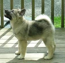 norwegian elkhound - Google Search