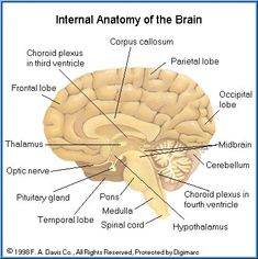 Archivobrain human normal inferior view with labels esg pares archivobrain human normal inferior view with labels esg pares craneales pinterest brain ccuart Image collections