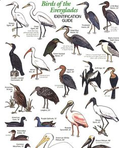 I love the birds - so many varieties and so interisting to watch. - I love the birds – so many varieties and so interisting to watch. Florida Pictures, Bird Identification, Bird Poster, Nature Posters, Wild Creatures, Backyard Birds, Animal Sketches, Animals And Pets, Nature
