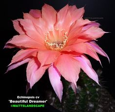"""Beautiful Dreamer - Robust grower, good pupper, excellent bloomer, 5""""-6"""" Blooms can last 3 to 5 days -once it reaches 6""""+ diameter 'Beautiful Dreamer' will bloom profusely in larger diameter blooms, maxes out for stem growth at 8"""" dia and 12"""" tall"""