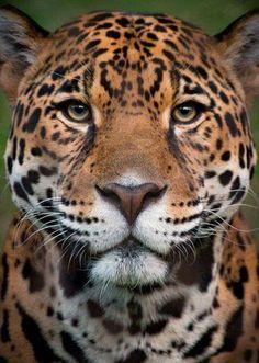 Pin by marsha perez on animals, mammals, birds, sea birds an Rainforest Animals, Nature Animals, Animals And Pets, Cute Animals, Animal Jaguar, Jaguar Leopard, Beautiful Cats, Animals Beautiful, Beautiful Pictures
