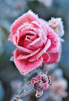 Load image into Gallery viewer, The Sugar Rose From Holland - 100 pcs - Jala & Noor Internationally sourced Arabic and Islamic goods