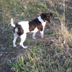 Molly-rat terrier