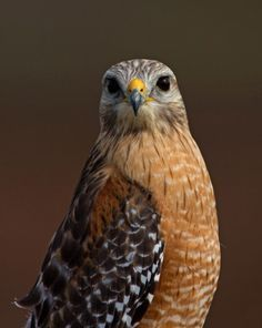red shoulder hawk tattoos | ... in cool tattoos on Pinterest | Hawks, Flower Tattoos and Bambi Tattoo