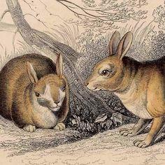 1836 rabbit original antique animal print for by antiqueprintstore, $40.00