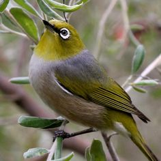Australian bird, we get these in our garden, they are lovely Small Birds, Little Birds, Colorful Birds, Pet Birds, Australian Parrots, Australian Bush, What Is A Bird, Most Beautiful Birds, Bird Gif