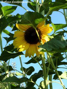 Sonnenblume  Sun flower