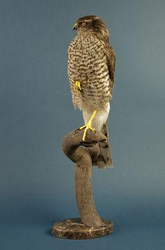 hawk taxidermy