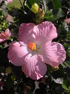Hybrid Hibiscus by Hawai'i Naturalist, via Flickr