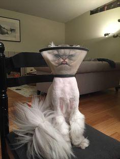 Persian in a cone