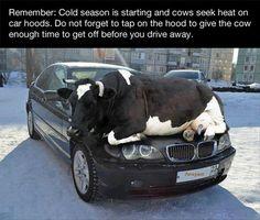 Cows on hoods