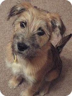 Rosco - Schnauzer/Terrier mix - Male - 4 months old - Arlington, TX - Shelter2Rescue Coalition - http://www.adoptapet.com/pet/10254306-arlington-texas-schnauzer-standard-mix http://shelter2rescue.org/?page_id=5 https://www.facebook.com/shelter2rescue