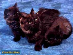Discover The Russian Blue Cats - Cat's Nine Lives Chantilly Cat, Chantilly Tiffany, Crazy Cat Lady, Crazy Cats, Long Hair Cat Breeds, Purebred Cats, Cat Years, Cornish Rex, Long Haired Cats