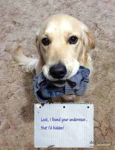 This post is dedicated to all those dogs that love parading their pet parents underwear in front of visitors. Over the years working closely with dogs i have come across a small portion of dogs tha…: