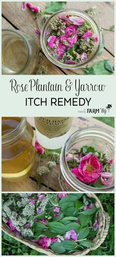 Rose Plantain Yarrow Itch Remedy