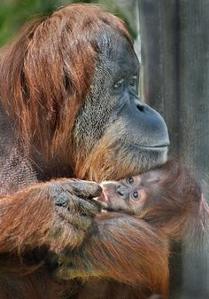 Aisha, a baby orangutan, turned six months old today. She and her mom call the San Diego Zoo home Primates, Mammals, List Of Animals, Animals And Pets, Baby Animals, Cute Animals, Beautiful Creatures, Animals Beautiful, Types Of Monkeys