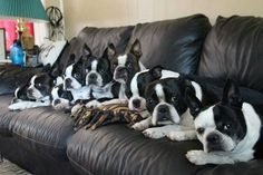 Bostons Everywhere! - Boston Terrier Pictures ❤❤❤ from…