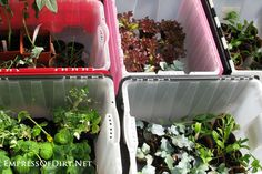 How to harden off seedlings for planting outdoors: use storage bins as mini greenhouses Mini Greenhouse, Greenhouse Plants, Herb Garden, Garden Planters, Indoor Garden, Spring Garden, Hardening Off Seedlings, Storage Bins, Gardening Tips
