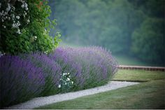Moundy drifts of lavender along a gravel path at Chalkland Farm   Photo by: Charlie Hopkinson, courtesy of Jinny Blom Limited