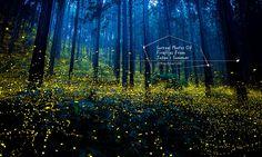 來自日本叢林的夏日舞曲:宛如置身仙境般 -「螢火蟲」光跡! 1