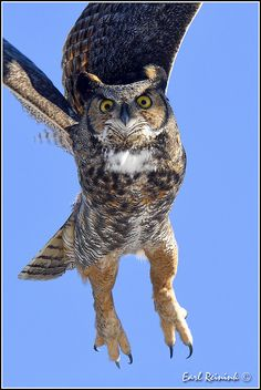 Great-horned Owl - coming to get you dude | par Earl Reinink