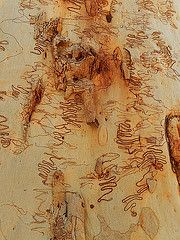 Scribbly Guum bark, Hornsby, NSW