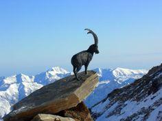 Ibex at Passo Salati, Gressoney valley.  Stambecco di Passo Salati a Gressoney - Foto Gallery - Gallerie utenti - angelo - Champoluc gennaio 07 Monterosa Ski