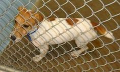 Jack is an adoptable Jack Russell Terrier Dog in Emporia, KS.  ...