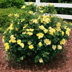 Easy to grow and disease resistant Knockout Roses. Including the new Double Knockout Rose series. Knockout Roses bloom up to 9 months a year and require zero maintenance. Yellow Knockout Roses, Yellow Roses, Purple Flowers, Purple Wisteria, Beautiful Flowers, Rose Bushes For Sale, Black Knight Butterfly Bush, Strawberry Hydrangea, Gardening