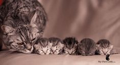 Post with 1 votes and 31784 views. Mother Cat With Her Kittens Pretty Cats, Beautiful Cats, Animals Beautiful, Cute Kittens, Animals And Pets, Baby Animals, Cute Animals, Mother Cat, Gatos Cats