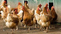DIY Chicken Coop