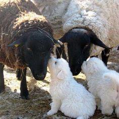 Sheepdog pups