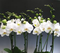 phalaenopsis-amabilis-6