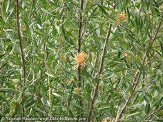 Grevillea olivacea - Grevillea