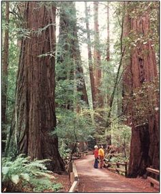 Sharon~ this one is for you and Don. Giant Redwoods in Muir Woods, CA