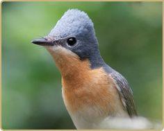Leeden Flycatcher | Atherton Tablelands | Queensland | Australia #birds #wildlife