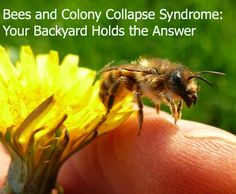 Bees and Colony Collapse Syndrome: Your Backyard Holds the Answer -- Green Child Magazine