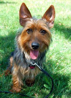 Jack the Australian Terrier