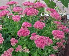 Top 10 Wonderful Flowers That Bloom All Year Long - Page 10 of 10 - Top Inspired Flower Garden, Flowers Perennials, Plants, Low Water Gardening, Unusual Flowers, Wonderful Flowers, Perennials, Sedum Plant, Perennial Garden