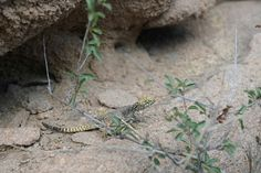 Mongolian lizard #mongolia #animals #lizard