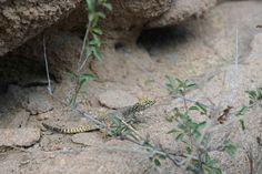 Mongolian lizard #mongolia #animals #lizard