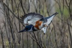 Belted Kingfisher by balance_now #nature #mothernature #travel #traveling #vacation #visiting #trip #holiday #tourism #tourist #photooftheday #amazing #picoftheday