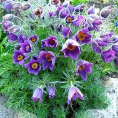 Pasque Flower (Anemone Pulsatilla Vulgaris Violet ) - A hardy and easy-to-grow plant from flower seeds, Pasque Flower blooms come in shades of light violet with yellow stamens. Use as a single specimen or in groups for a color mass. Flower Garden, Purple Flowers, Plants, Anemone, Perennials, Perrenial Flowers, Trees To Plant, Flowers, Flower Seeds