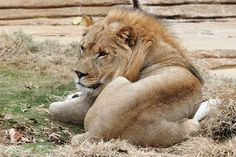 The Philadelphia Zoo's lion pride has grown by one with the arrival of ...