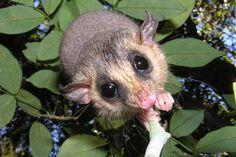 O cuíca — Tate's woolly mouse opossum — (Micoureus paraguayanus) é predominantemente endêmico da Mata Atlântica, e não está ameaçado. Foto: Thomas Püttker.