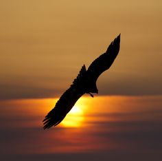 Steller's sea eagle at dawn. - Steller's sea eagle at dawn in Rausu harbour. Steller's Sea Eagle, Island Nations, Eagles, Bald Eagle, Dawn, Sunrise, Japan Japan, Animals, Detail