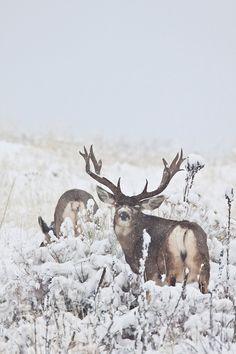 D. Robert & Lorri Franz | Mule deer (Odocoileus hemionus) Mule Deer Buck, Mule Deer Hunting, Whitetail Deer Hunting, Whitetail Bucks, Whitetail Deer Pictures, Deer Photos, Deer Hunting Decor, Big Deer, Hunting Pictures