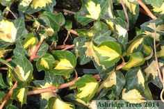 Hedera helix 'Goldheart' Ivy is possibly one of the most attractive of the variegated ivies. It has lovely foliage being dark green with bright yellow centres and, although vigorous, can be easily kept under control.